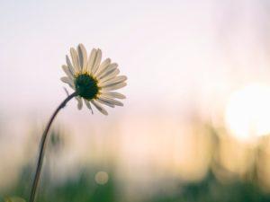 vie simple vraie authentique joie d'une fleur au lever du soleil
